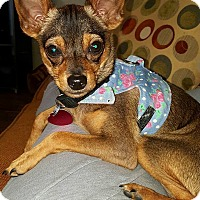 Chihuahua Puppy for adoption in La Verne, California - Boss