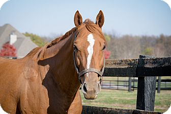 Thoroughbred for adoption in Nicholasville, Kentucky - In My Book