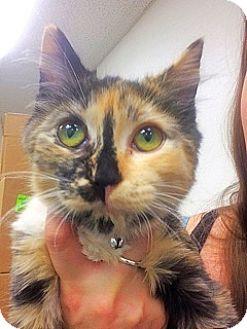 Somali Kitten for adoption in Glendale, Arizona - MARCO