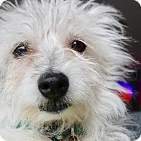 Adopt A Pet :: Phyllis aka Little MissBedhead - Los Angeles, CA