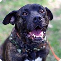 Adopt A Pet :: Bronson - Gainesville, FL