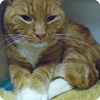 Adopt A Pet :: Big Tom - Hamburg, NY