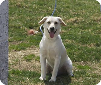 Labrador Retriever Mix Dog for adoption in New Cumberland, West Virginia - Beaker