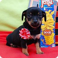 Adopt A Pet :: Uno - Irvine, CA