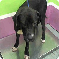 Adopt A Pet :: Hondo - Fort Collins, CO