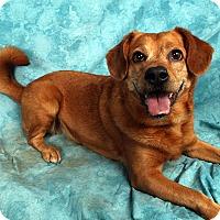 Spitz (Unknown Type, Medium)/Beagle Mix Dog for adoption in St. Louis, Missouri - Winnie Red (Penny)
