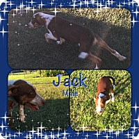 Adopt A Pet :: Jack meet me 8/5 - Manchester, CT