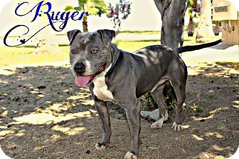 Pit Bull Terrier Mix Dog for adoption in DELANO, California - RUGER
