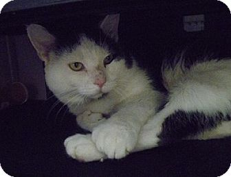 Domestic Shorthair Cat for adoption in Hamburg, New York - Pete