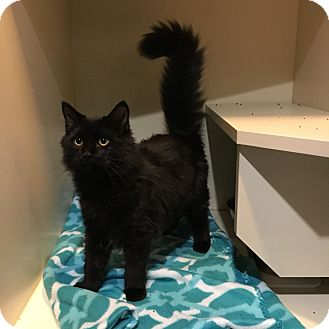 Domestic Longhair Cat for adoption in Phoenix, Arizona - Kieran