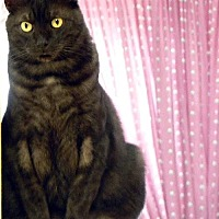 Domestic Shorthair Cat for adoption in Alvin, Texas - Asher