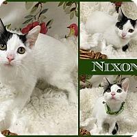 Domestic Shorthair Cat for adoption in Joliet, Illinois - Nixon