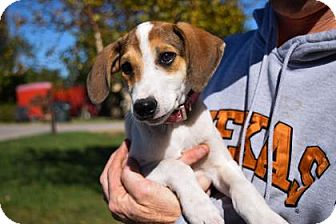 Beagle Mix Puppy for adoption in Wichita, Kansas - Gracie