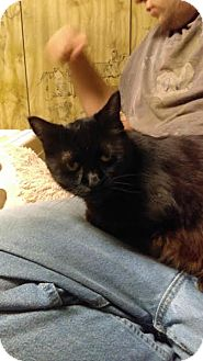 Domestic Shorthair Cat for adoption in Acushnet, Massachusetts - Lauralyn