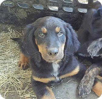 Rottweiler/Labrador Retriever Mix Puppy for adoption in Ellaville, Georgia - Zeus (adoption pending)
