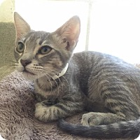 Domestic Shorthair Kitten for adoption in Westminster, California - Kona