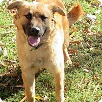 Golden Retriever/Shepherd (Unknown Type) Mix Puppy for adoption in Glastonbury, Connecticut - Haley Beth