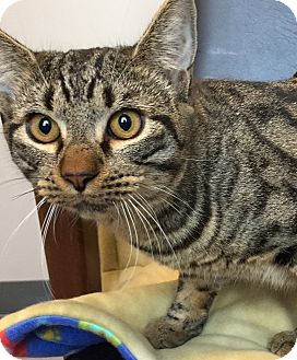Domestic Shorthair Cat for adoption in Friendswood, Texas - Thor
