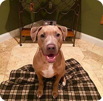 Weimaraner/Pit Bull Terrier Mix Dog for adoption in New York, New York - Blue