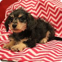 Adopt A Pet :: Harmony - Los Angeles, CA
