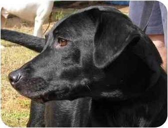 Labrador Retriever/German Shepherd Dog Mix Dog for adoption in Conyers, Georgia - Baby