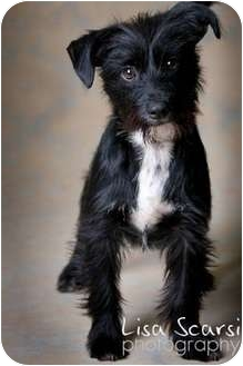 Schnauzer And Scottish Terrier May | Adopted D...
