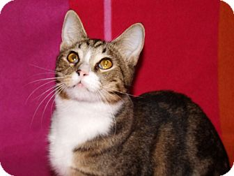 Domestic Shorthair Cat for adoption in Scottsdale, Arizona - Brett-special loving 1 yr