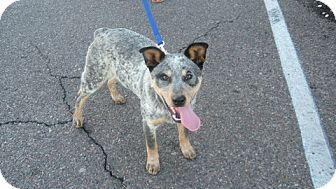 Australian Cattle Dog Mix Puppy for adoption in Phoenix, Arizona - Levi