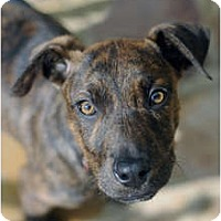 Adopt A Pet :: Oliver - Reisterstown, MD