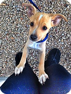 Flash | Adopted Puppy | Phoenix, AZ | Chihuahua/Italian ...