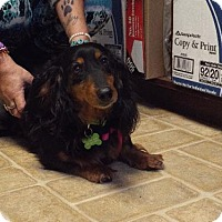 Adopt A Pet :: Sadie (Ladybug) - Murphy, NC