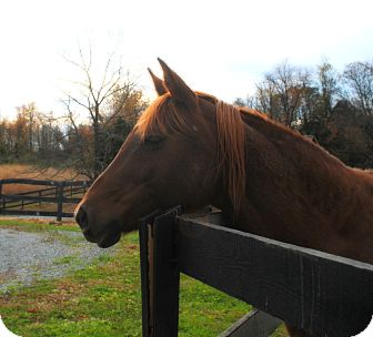 Arabian Mix for adoption in Lovettsville, Virginia - Chloe