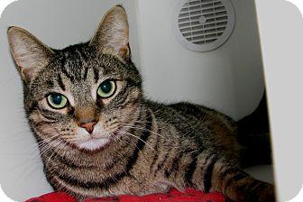 Domestic Shorthair Cat for adoption in New Kensington, Pennsylvania - Allie
