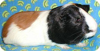 Guinea Pig for adoption in Steger, Illinois - Davinci