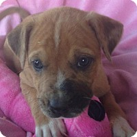 Adopt A Pet :: Amelia - Hagerstown, MD