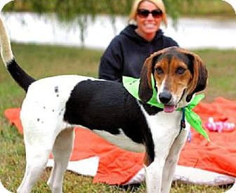 Treeing Walker Coonhound Mix Dog for adoption in Cleveland, Ohio - Trina