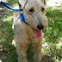 Adopt A Pet :: Gingy - Miami, FL