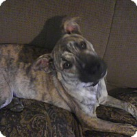 Adopt A Pet :: Diesel in CT - Manchester, CT