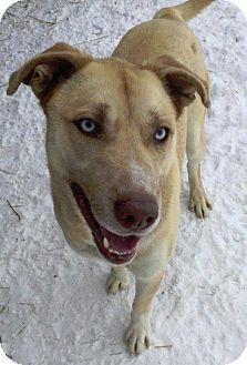 Siberian Husky/Labrador Retriever Mix Dog for adoption in Shingleton, Michigan - Buddy