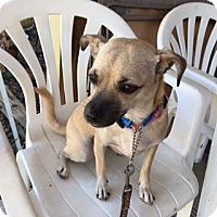Adopt A Pet :: BREE - Elk Grove, CA