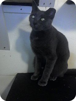 American Shorthair Cat for adoption in Medford, New York - Church