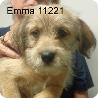 Cockapoo/Dachshund Mix Puppy for adoption in baltimore, Maryland - Emma