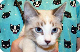 Domestic Shorthair Kitten for adoption in Wildomar, California - Chevy