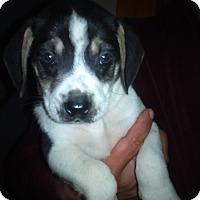 Adopt A Pet :: Steve - Kendall, NY