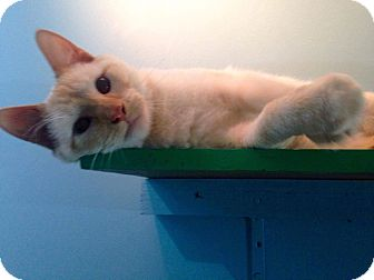 Colorpoint Shorthair Cat for adoption in Huntington, West Virginia - Batali