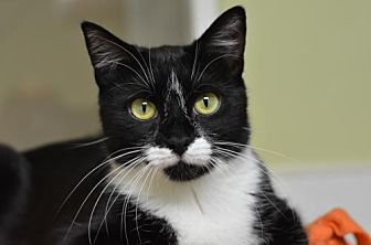 Domestic Shorthair Cat for adoption in Atlanta, Georgia - Carly Tux160716