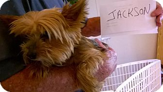 Yorkie, Yorkshire Terrier Dog for adoption in Tallahassee, Florida - Jackson