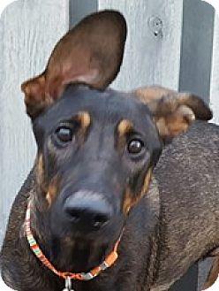 German Shepherd Dog Mix Dog for adoption in Bloomington, Illinois - Rizzo