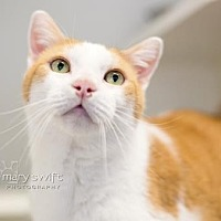 Domestic Shorthair Cat for adoption in Reisterstown, Maryland - Oliver