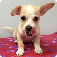 Adopt A Pet :: Jewels - Weston, FL